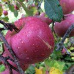 リンゴの収穫時期となりました!