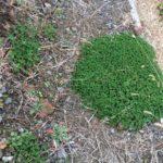 太陽光の雑草対策でクローバー