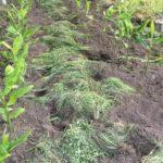 ソーラーシェアリング ミョウガの除草と生育状況