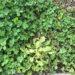 太陽光発電所のグランドカバープランツに除草剤